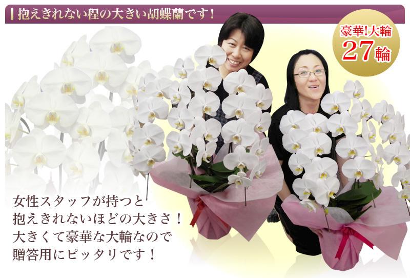 抱えきれない程の大きい胡蝶蘭