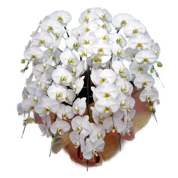 胡蝶蘭 大輪 白 10本立ち 100輪以上