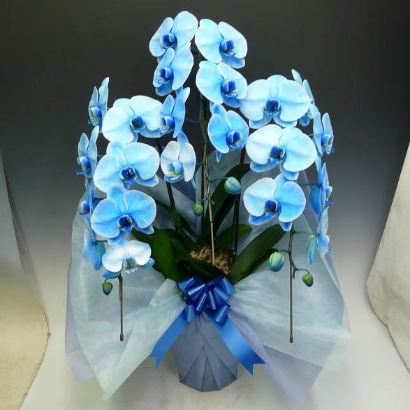 胡蝶蘭 大輪 ブルーエレガンス 青 3本立ち(2本から7本選べます)(即日送可)