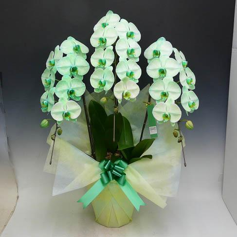 胡蝶蘭 大輪 グリーンエレガンス 緑 3本立ち(3本から7本選べます)(1週間後発送)